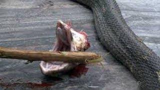 為什麼毒蛇被砍頭後,還能跳起來張嘴咬人?