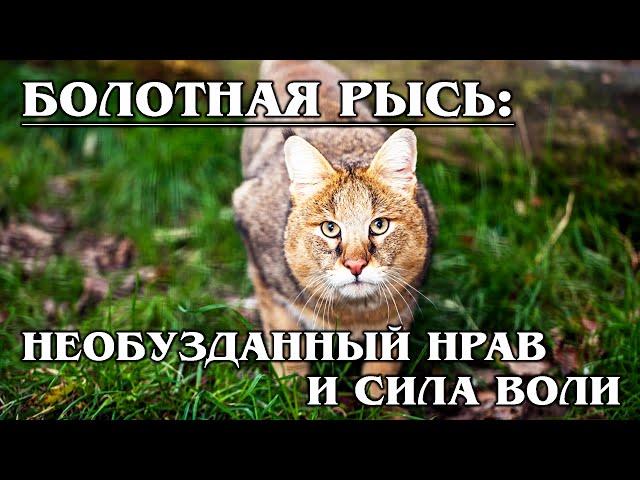 КАМЫШОВЫЙ КОТ: «Доктор» Хаус среди кошачьих