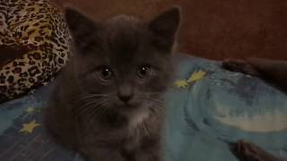 Котята от британки