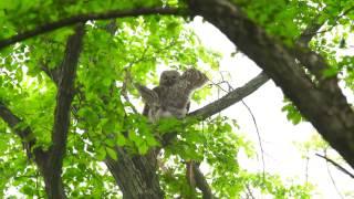 エゾフクロウの雛が巣立ちをして数日後、1羽の雛を樹林中に発見。 親は...