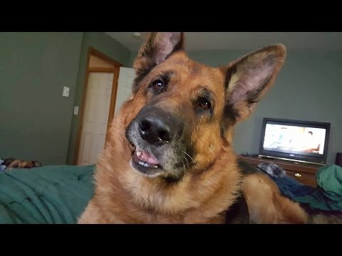 Funniest And Cute German Shepherd Dogs Videos Compilation ||NEW HD