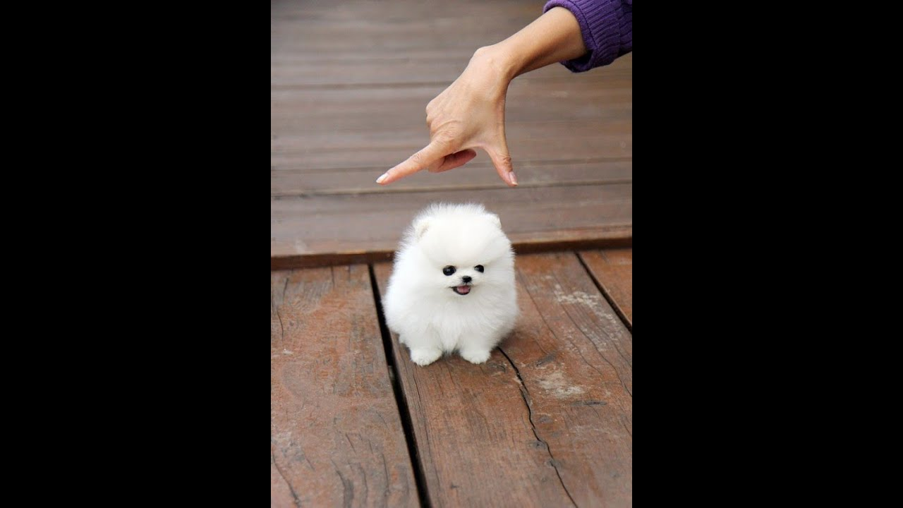 fluffy miniature dogs - photo #4