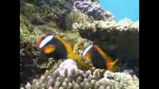 Anemone Fish on Lady Elliot Island Eco Resort Thumbnail