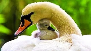 Baby Birds and Ducklings with their Parents! - Cute Baby Birds & Moms Compilation 2018