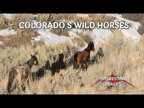 Wild horses of Colorado