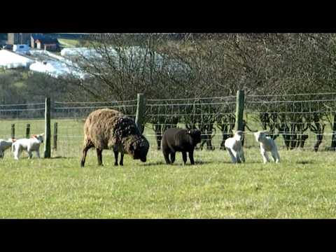 Polwarth lambs Start to Play..