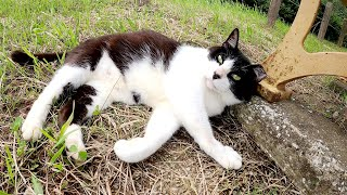 体を撫でられると、手をフミフミして喜ぶハチワレ猫