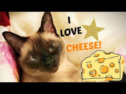 14 Year old Siamese cat LOVES Cheese montage