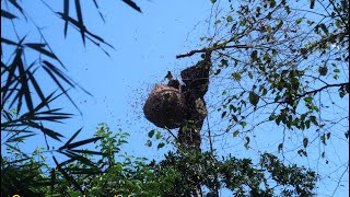 Catch The Giant Giant Bee Bees The World's Most Dangerous Bumblebee
