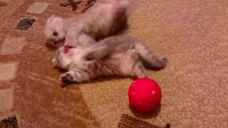 Британские котята первый раз в своей жизни играют мячиком