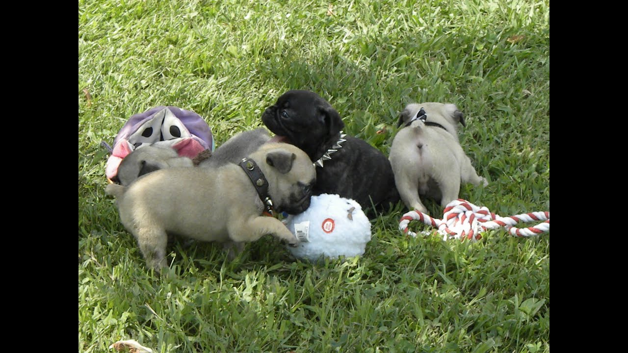 Frug Puppies Hybrids French Bulldog And Pug Cross Youtube