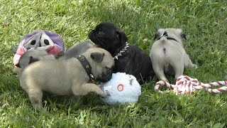 Frug Puppies Hybrids French Bulldog And Pug Cross