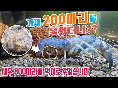 200 crayfish were given 800 shrimp