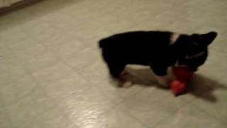 Cute Corgi Puppy Opens Crate Door And Bounces Around Cutely.