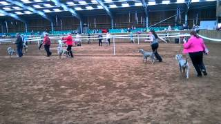 Weimaraner Association Champ Show - Rhea On The Move Pgb