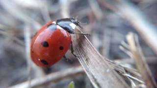 Божья коровка - макросъемка, увеличение 10 раз под микроскопом(божья коровка, божьи коровки, солнышко, красный жук, жук божья коровка, жук, жук солнышко, жук сонечко, ladybug,..., 2016-10-04T13:15:49.000Z)