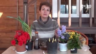 Выгонка луковичных цветов к 8 Марта  Разбираем ошибки