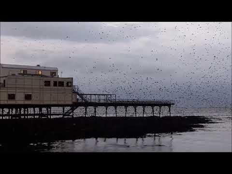 Starlings in Aberystwyth- Tanz der Stare zum Sonnenuntergang- November 2018