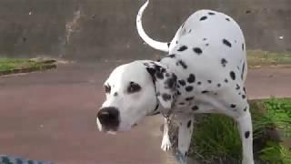 Dalmatian#ダルメシアン#Japan#女子高生#鮭の遡上#女子高生.