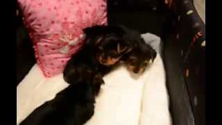 Tiny Toy Yorkies (yorkshire Terriers)