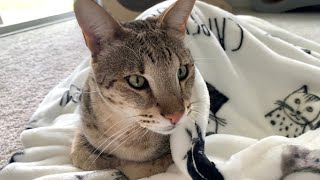 Big Cats Love Their New Cat Blanket! Cuteness Overload! #cute #cat #video