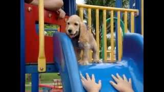 American Mix English Cocker Spaniel Puppy Playing At Playground With Kids