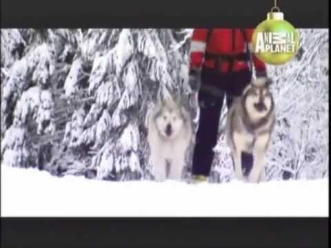 ALASKAN MALAMUTE - ABC CANINO - 101  DOGS - ESPAÑOL