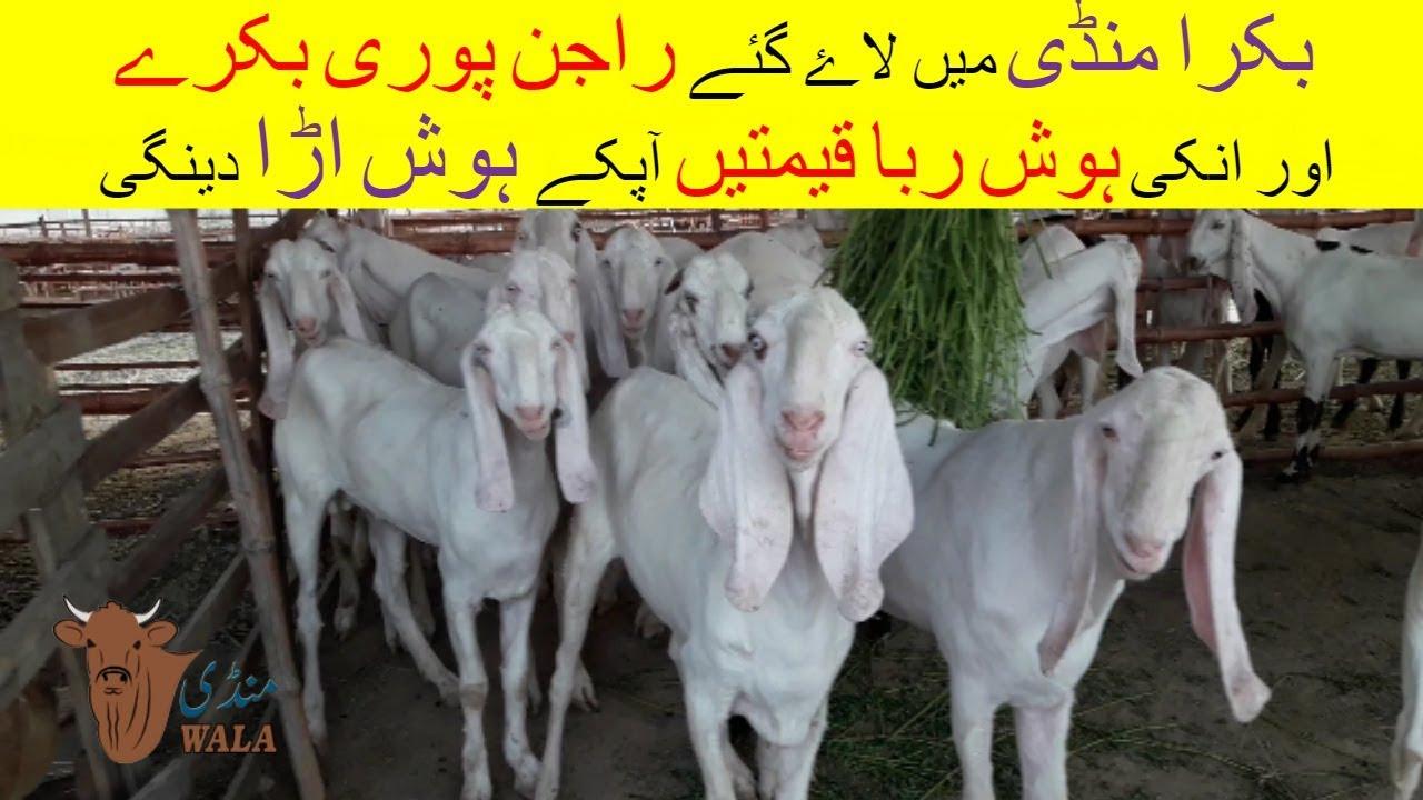 8   Bakra mandi 2018/2019   Price comparison of Goats