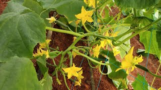 Cucumber Melons polyhouse Green House Melons & Good Practice Cucumber Virus-YK Laboratories