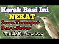 Cara Mikat Burung Kerak Basi Liar  Mp3 - Mp4 Download