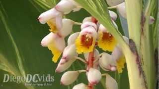 Alpinia zerumbet Variegata (Zingiberaceae) Golden lotus plant