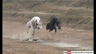dori track race 2018   greyhound racing   dog race