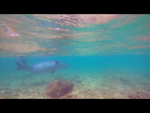 Kauai Hawaiian Monk Seal - Oct 13, 2016