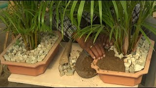 How to care Areca palm (With English Subtitle)