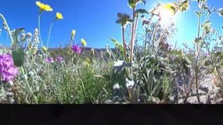 Anza Borrego Desert State Park Wildflower Super Bloom 2017.