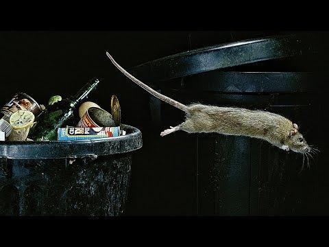 Как устроено крысиное