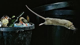 How is the rat society organized?