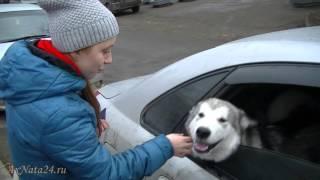 Аляскинский Маламут и Диана. Случайное знакомство после урока вокала.