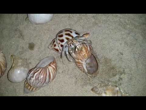 Land Hermit Crab changing shells