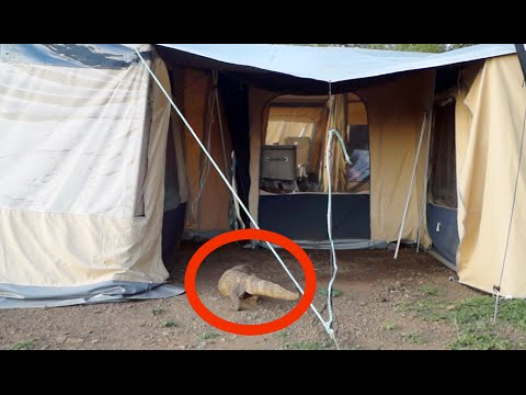 Huge Monitor Lizard Scaring Tourists In Their Tent & Huge Monitor Lizard Scaring Tourists In Their Tent - YouTube