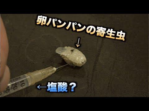 【実験】注射器で卵持ちの寄生虫に塩酸?を注入して4日放置した結果・・・