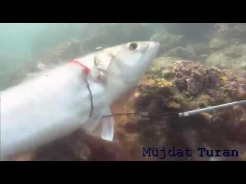 Fethiye zıpkınla ahtapot avı 2 kg octopus spearfishing