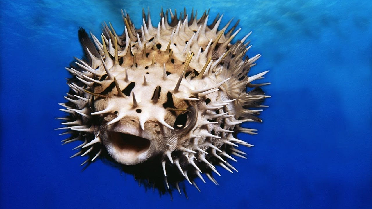 You won 39 t believe what this puffer fish wants to eat for What is a puffer fish