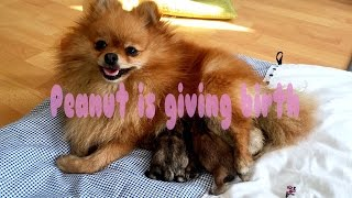 Pomeranian Dog Is Giving Birth 🐶 Peanut becomes a mommy