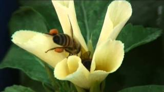 Bees Pollinating Flowers (Curacao)