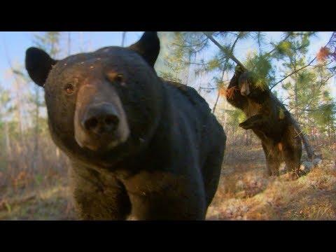 Black Bear Scent Marking | BBC Earth