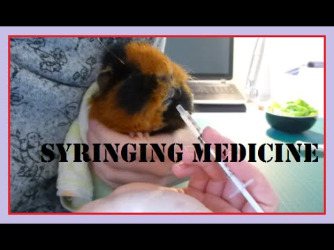 HOW TO: Syringe Feed Medications to Guinea Pigs