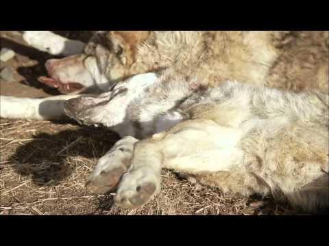 EBS 다큐프라임 - 중앙아시아, 살아남은 야생의 기록 2부 늑대와 유목민, 그들의 겨울_#002