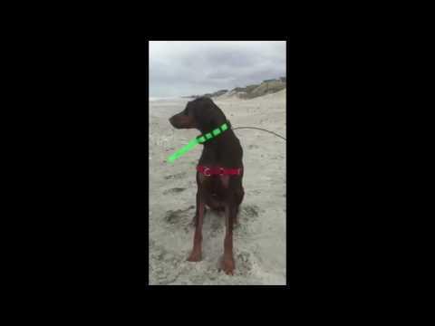 Dog On The Beach Slow Motion Moments Doberman Pinscher