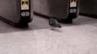 鳩の無賃乗車。。。駅員さんに捕まる sneaking pigeion,,, finally arre...